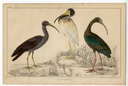 1858 Bird IBIS White Metallic or Glossy ANTIQUE Hand Colour Print